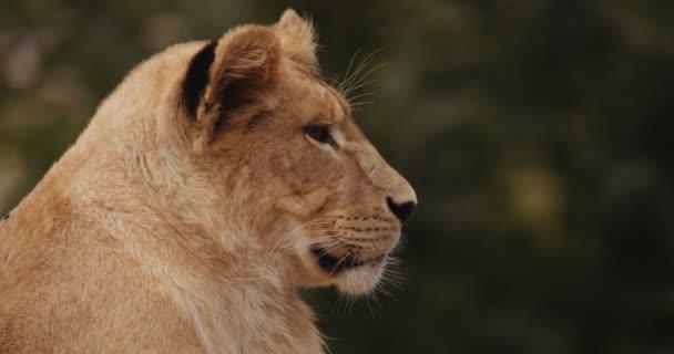 Lion Cub In Profile In Safari Park