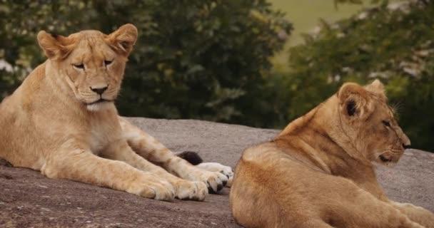 Az oroszlánkölykök együtt pihennek a Safari Parkban.