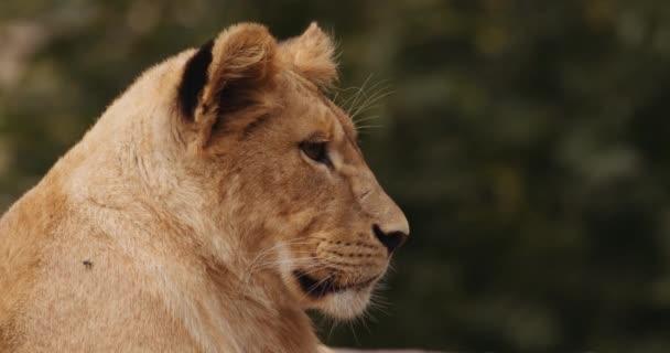 Oroszlán Kölyök Szörnnyel a Safari Parkban