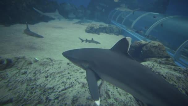 Silvertip Shark Schwimmen in Singapur S.E.A Aquarium