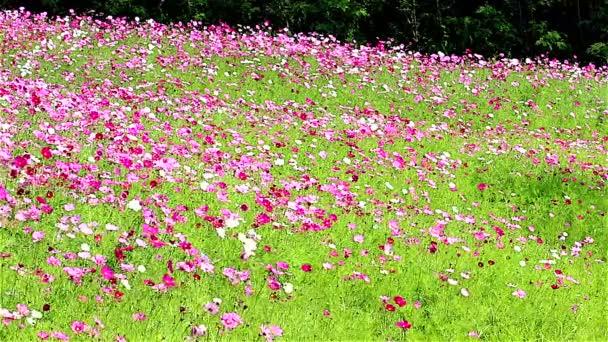 mező rózsaszín virágok