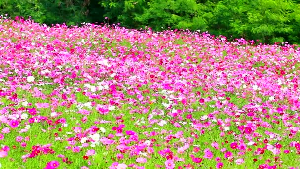 Rózsaszín virágok mezője