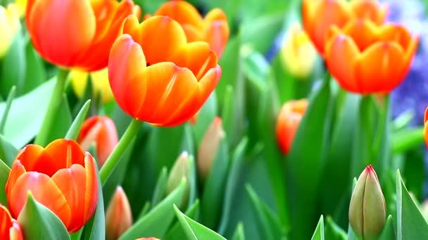 oranžový Tulipán květy
