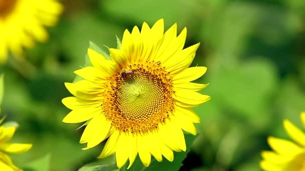 Bee ült a virágzás napraforgó