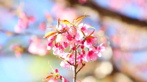 růžové květy ve větru