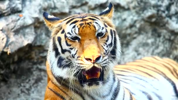 gyönyörű Szumátrai tigris