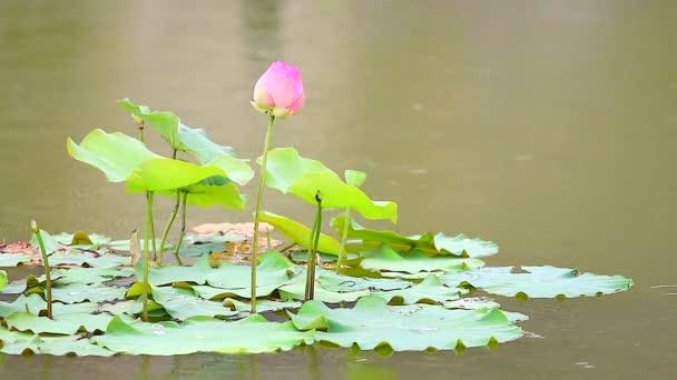 Lótuszvirág a lágy szellő