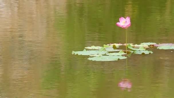 Lotosový květ v jemném vánku