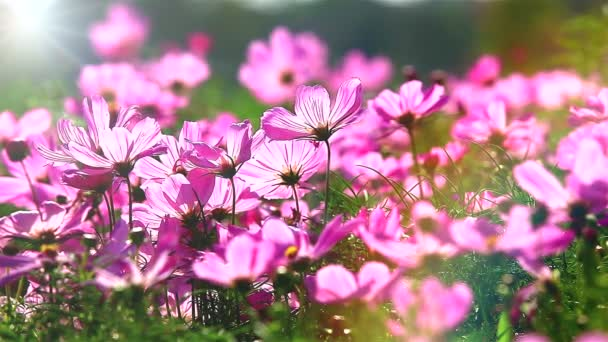 Field of pink flowers move in wind