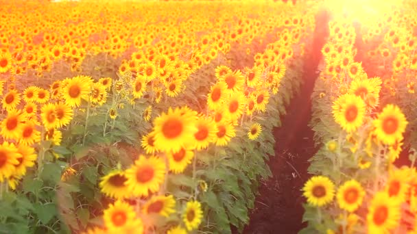 Meadow field of sunflowers