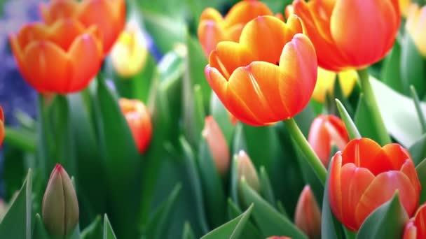 Red and orange tulip flowers