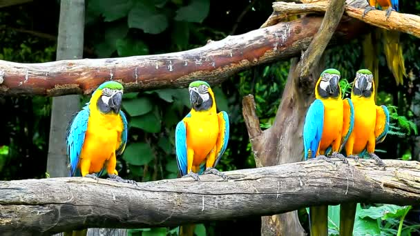 Blue-and-yellow Macaw on tree