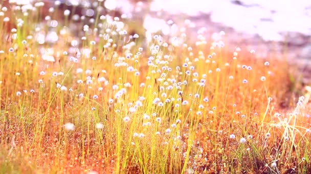 Kradumngen květ pole ve větru