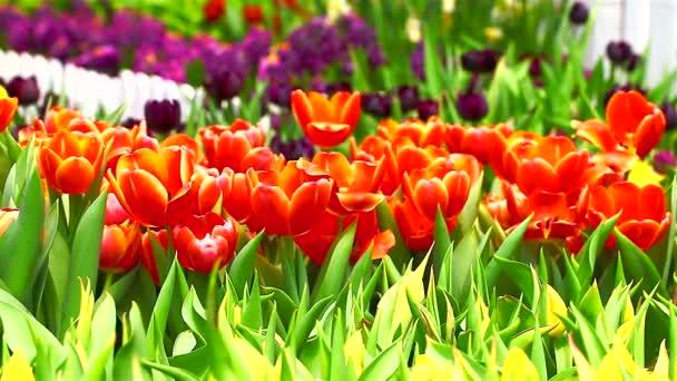 Oblast coorful tulipány kvetoucí