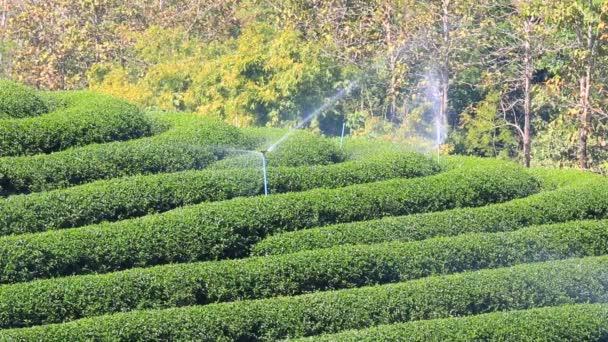 Growing green tea field