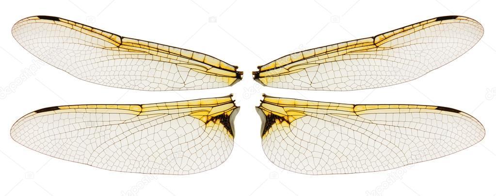 蜻蜓翅膀上白色隔离 图库照片 169 Vitart#96408716