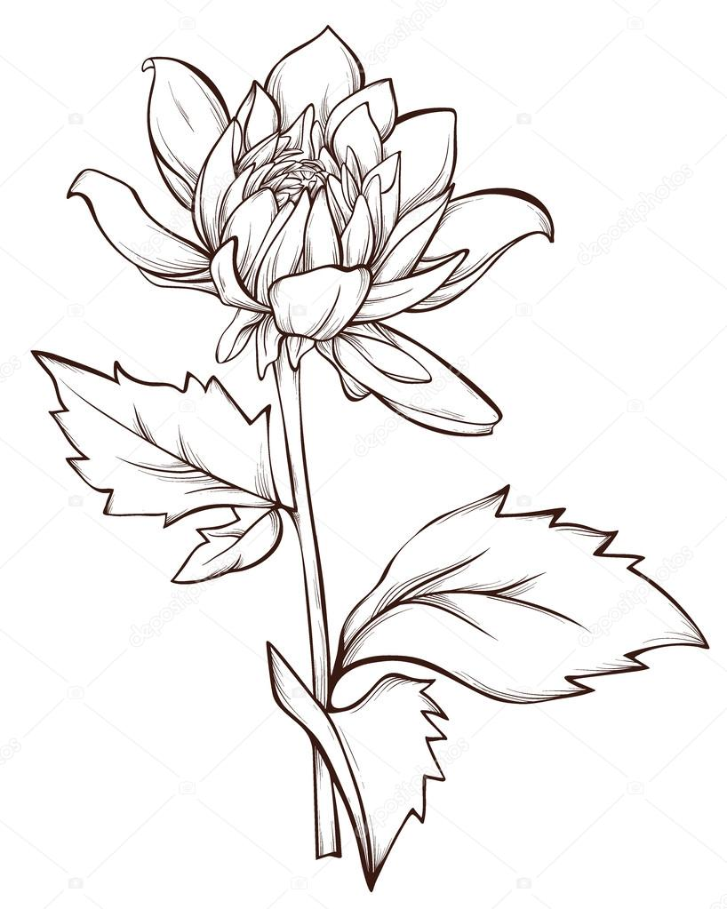 Vector flower isolated on white background. Hand-drawn dahlia flower.