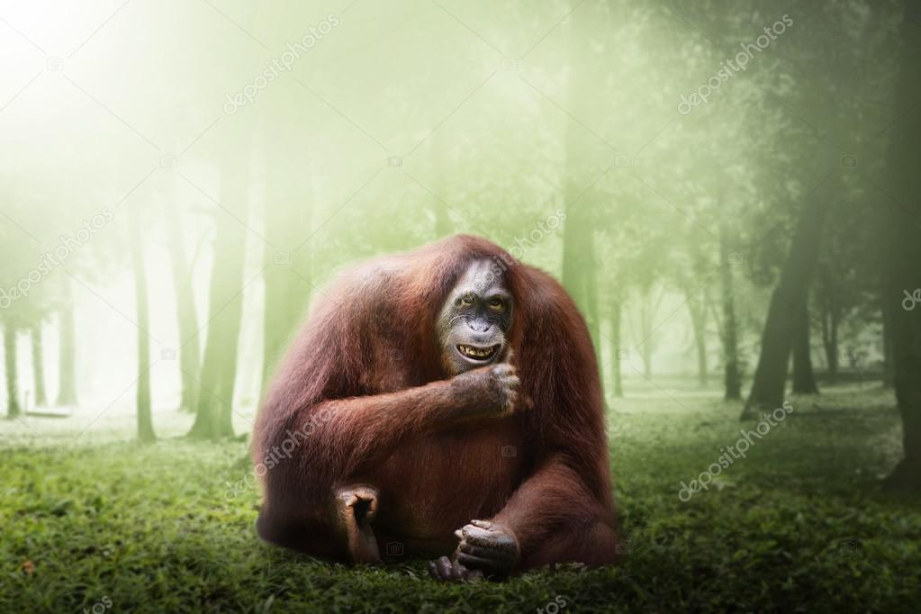 Female orangutan monkey