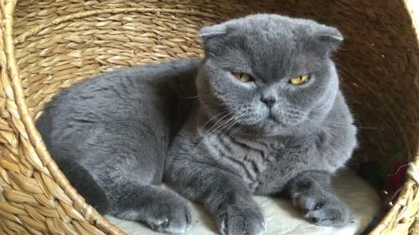 Katze Rasse Scottish Fold sitzt in seinem Haus