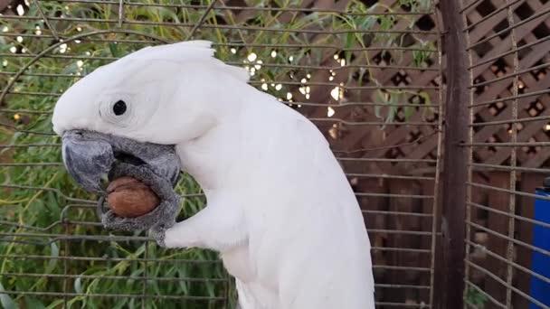 Cockatoo jí oříšky. Koktejl jí vlašský ořech. Koktejl v kleci jí ořechy.