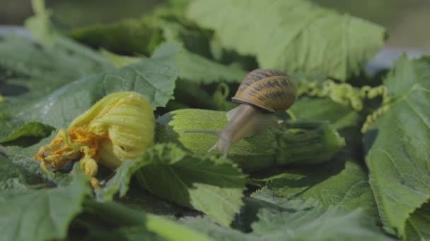 Schnecke auf einem Gemüsemark aus nächster Nähe. Schnecke im Garten. Schnecke im natürlichen Lebensraum. Schneckenfarm.