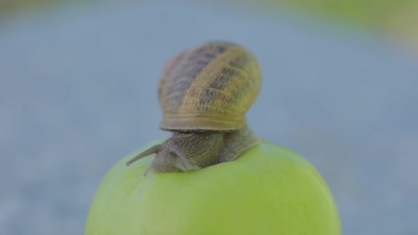 A snail is crawling over an apple. Snail on a green apple. Snail on an apple close-up.