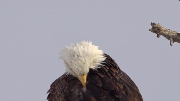 Nahaufnahme eines Weißkopfseeadlers, der seine Federn in einem Baum ausbreitet.