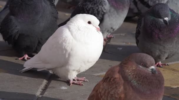 White adult Dove close up. seen Detail of the birds head and feathers are clearly evident.