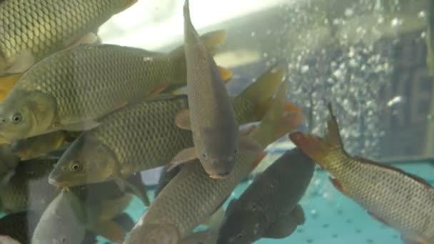 Rybí kapr v akváriu zblízka. Koncept dobrý úlovek, rybí byznys