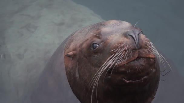 Porträt eines Seelöwen im Meerwasser