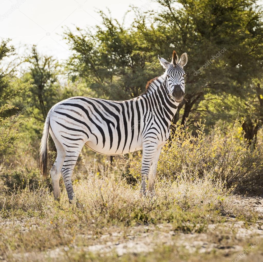Zebra on Wildlife Safari
