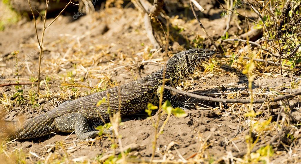 Monitor Lizard Africa