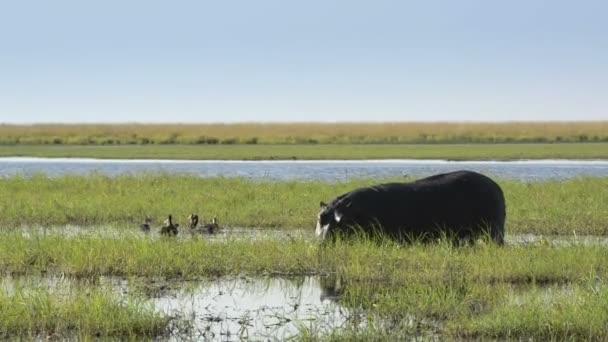 Nilpferd in Afrika