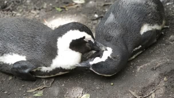 Vad afrikai pingvinek