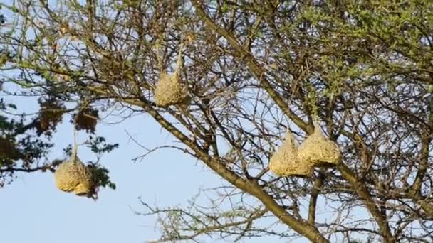 Weaver ptáci hnízda Afrika