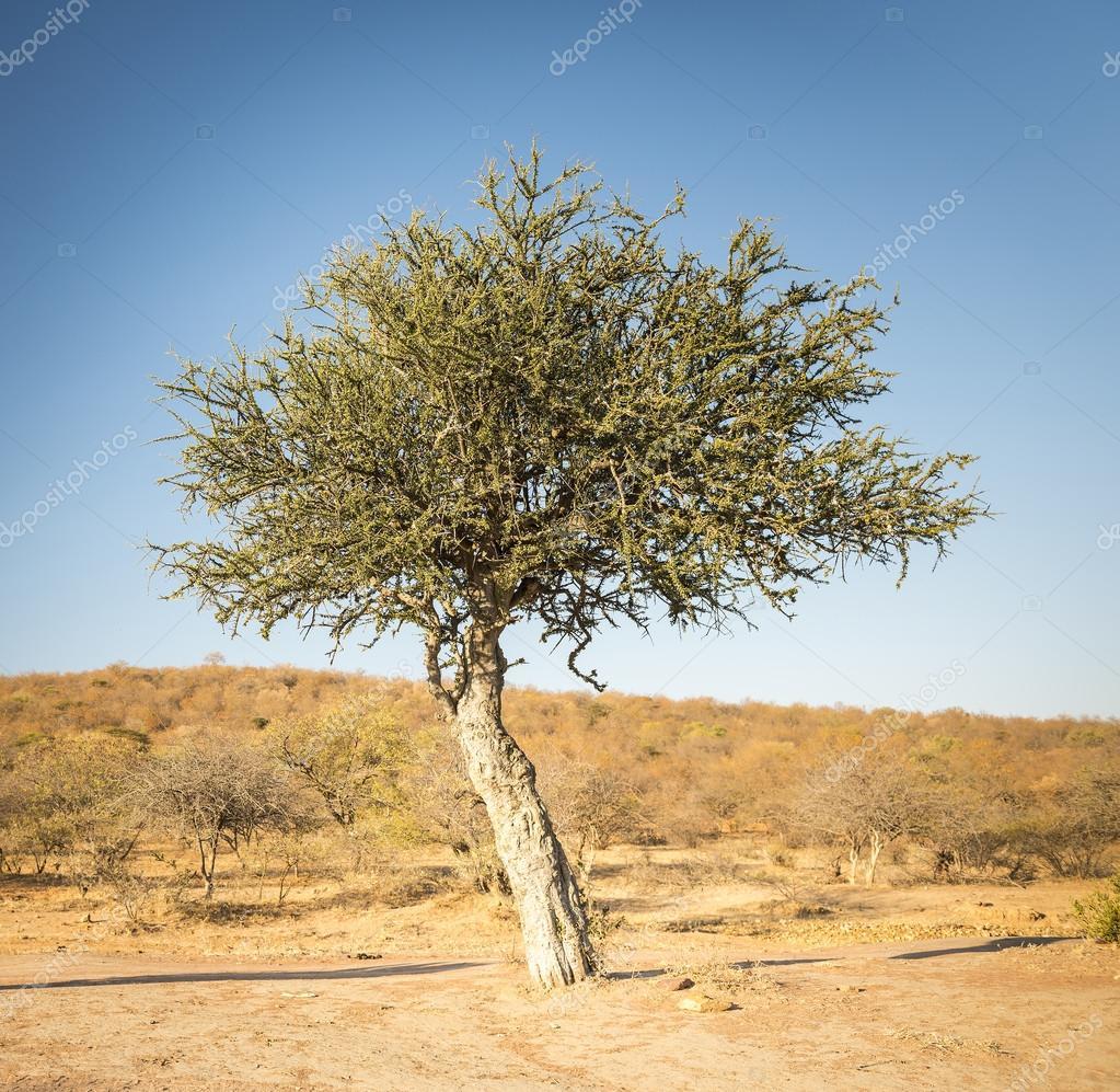 Albero dell 39 acacia botswana africa foto stock thpstock for Acacia albero