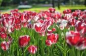 A Keukenhof park híres holland tulipán