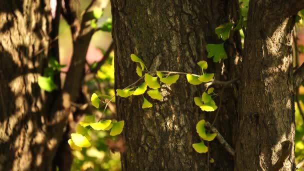 Ginko listy a větve na rozmazaném přírodním pozadí