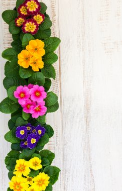 Colorful primula flowers in pots