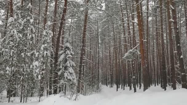 Lyžařská dráha v zimním borovicovém lese