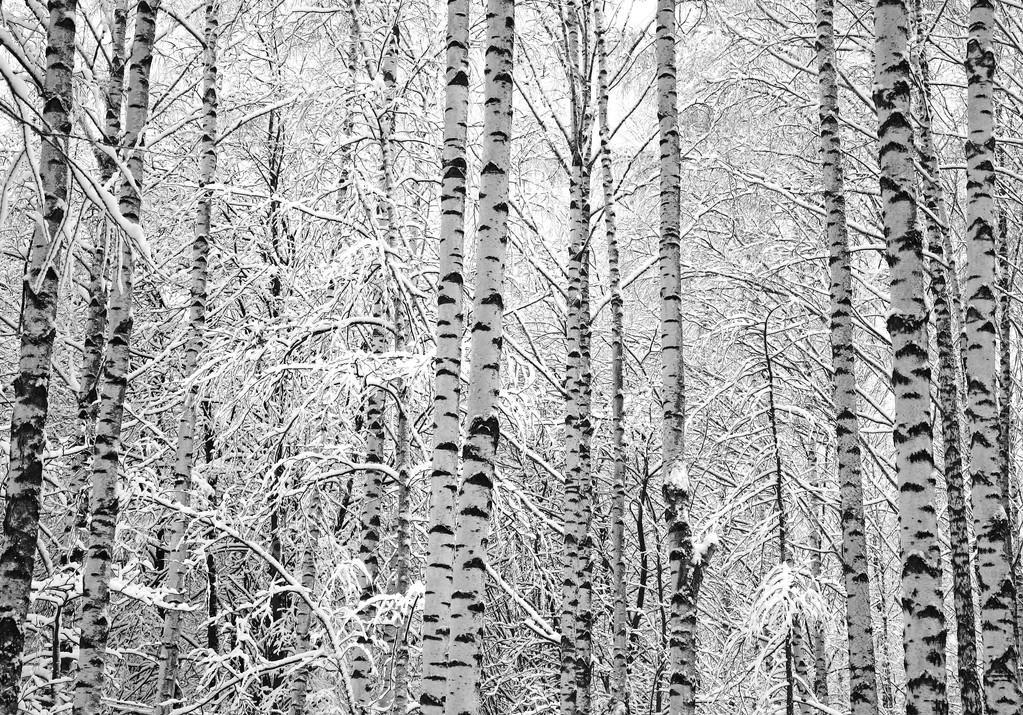 Alberi Di Betulla Neve Bianco E Nero Foto Stock Lenikovaleva