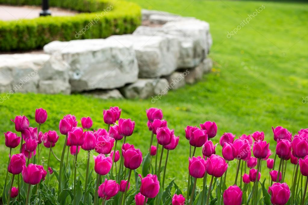 Display of colorful magenta tulips