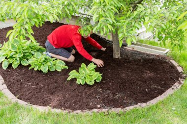 Gardener working in the garden doing the mulching