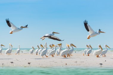 White Pelicans taking off of Florida's Beach