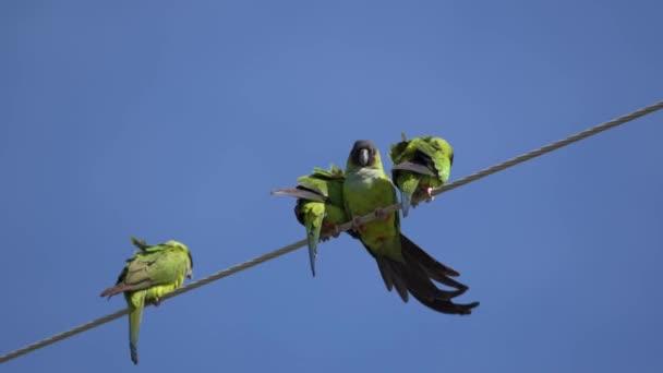 Nanday Conure papoušky na drát