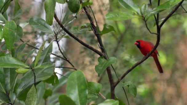 Észak bíboros madár férfi