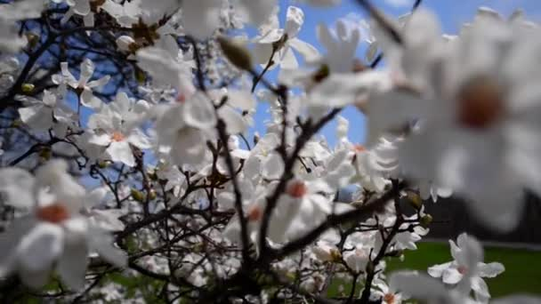 bílá magnolia květ