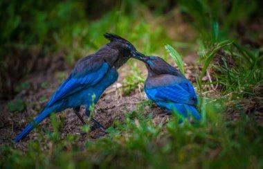 Stellers Jay Bird Feeding