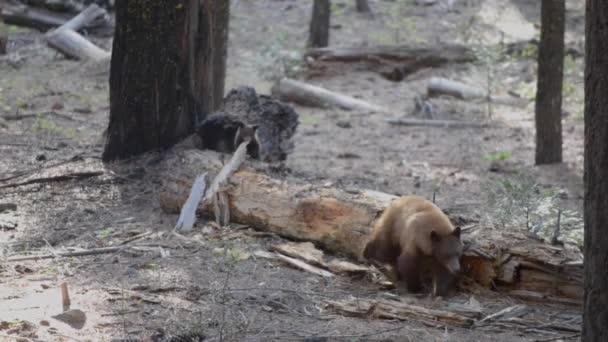 Felnőtt fekete medve, és egy kölyök Yosemite Nemzeti Park Kalifornia