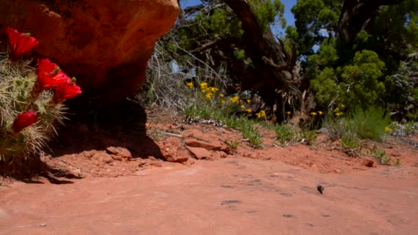 červený kaktus květ canyonlands utah